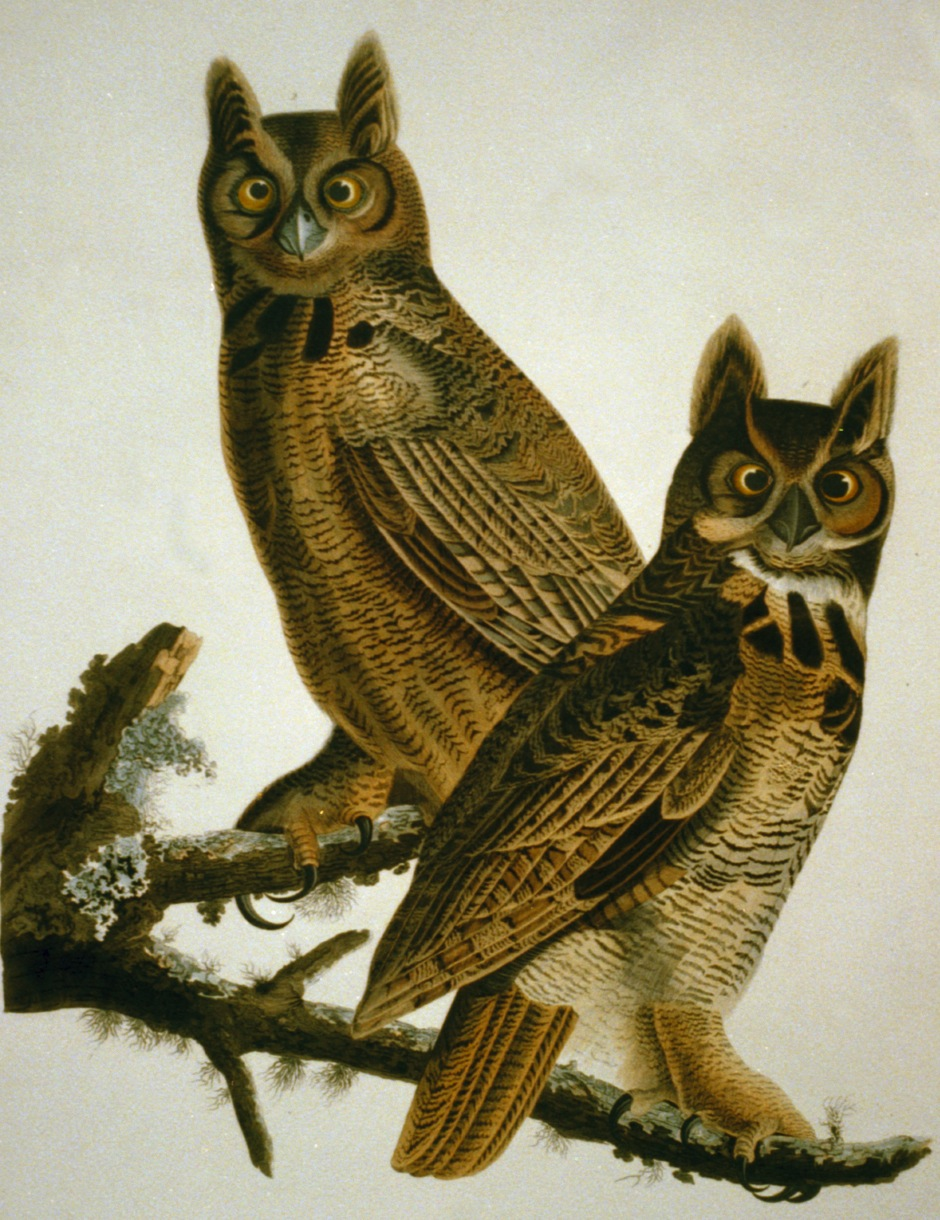 Great Horned Owl Library of Congress http://www.loc.gov/pictures/item/2002718993/