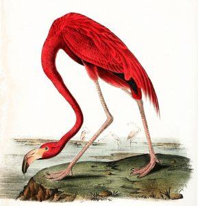 american-flamingo-illustration-j-j-audubon-1840-985x1024