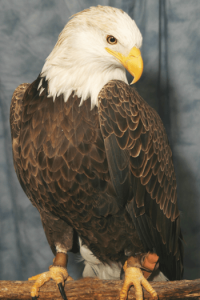 """Liberty,"" an adult male bald eagle"